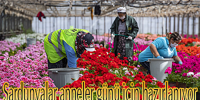 Sardunyalar anneler günü için hazırlanıyor Büyükşehir'den sektöre destek annelere hediye